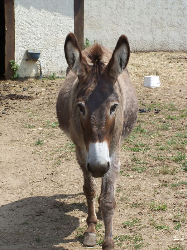 Donkey of Terre de Rose at Doué la Fontaine